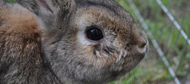 Tips för rinnande öga på kanin