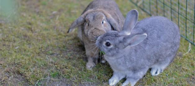 Kaniner, kärlek och girighet