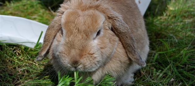 Kaningulsot har spritt sig till norra Mälaren
