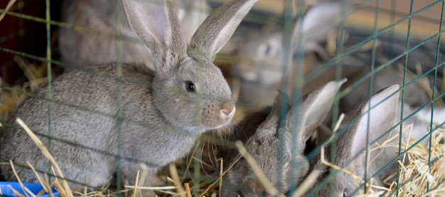 Kaniner deltog i nationaldagsfirandet